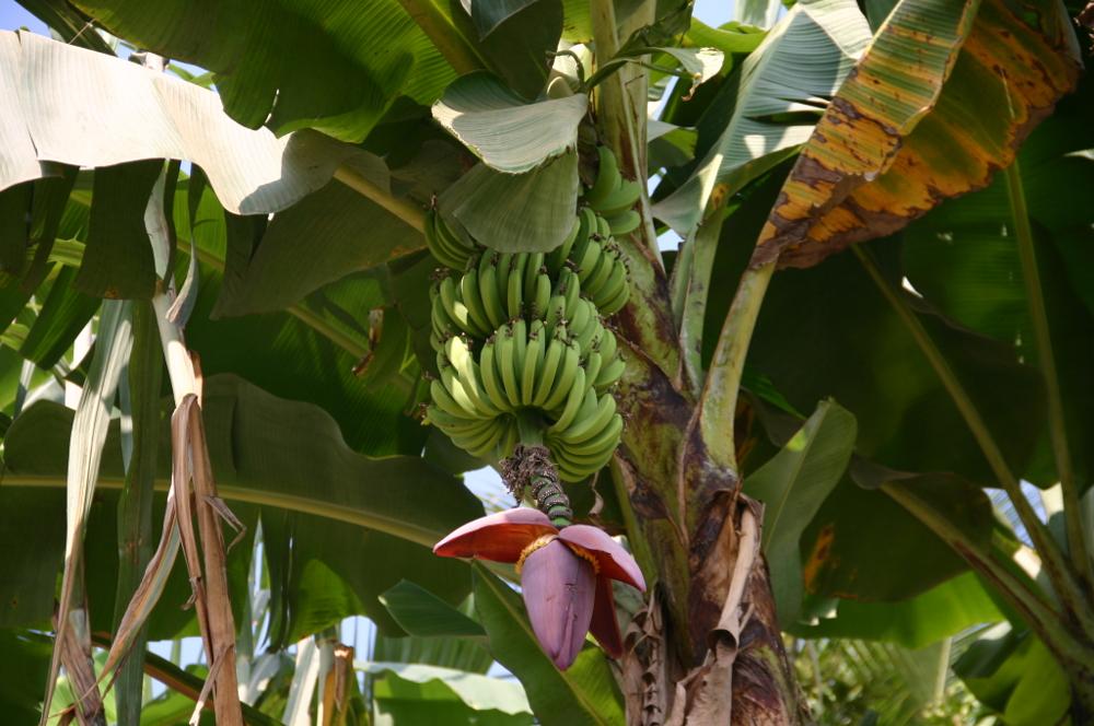 бананы Лаос