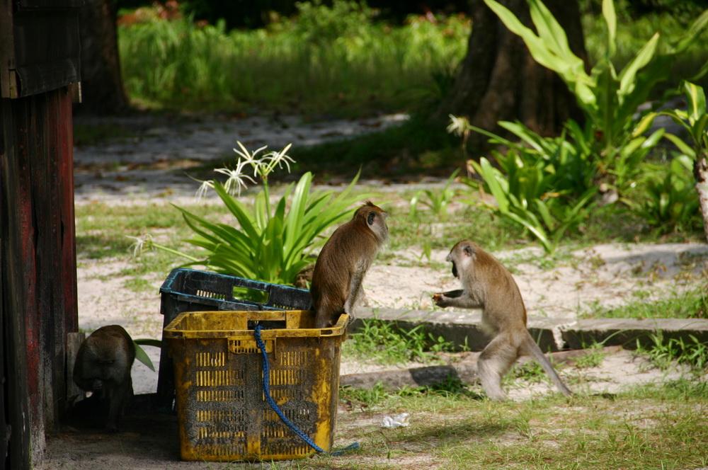 пляж обезьян пенанг