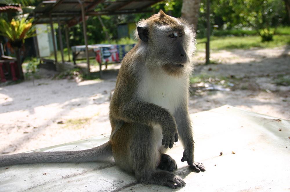 кормим обезьяну на пляже пенанг