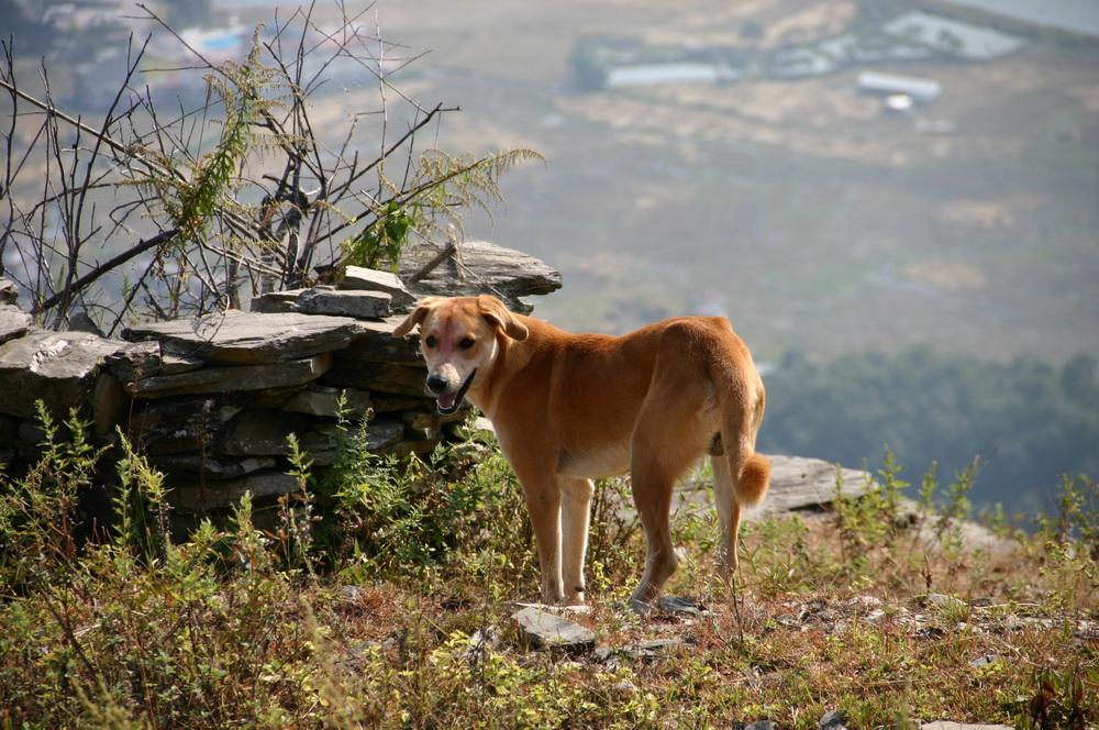 Собака Дивали Непал