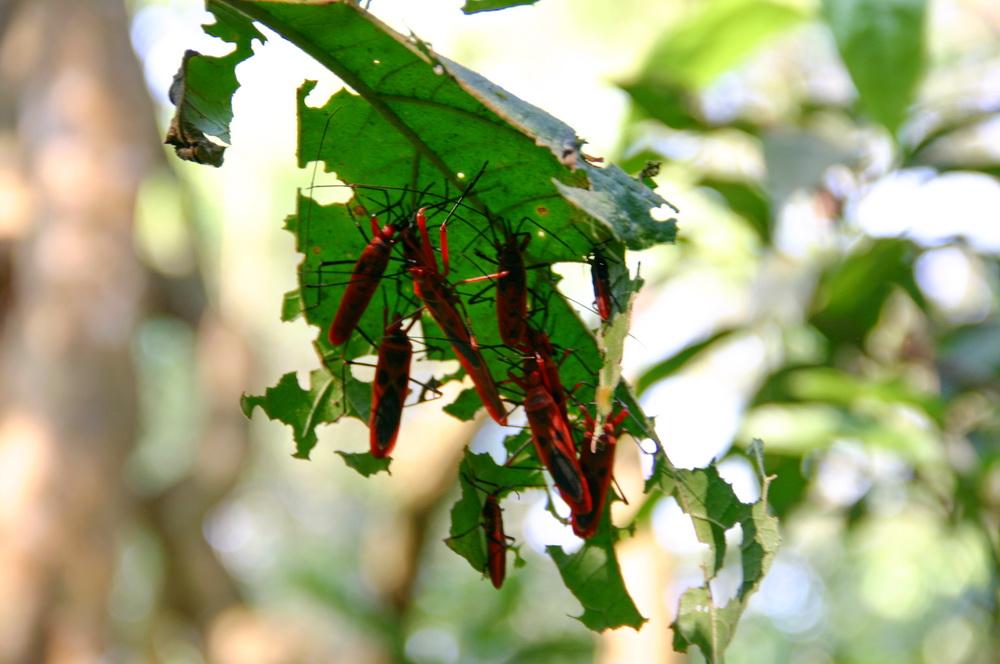 жуки Непал Читван