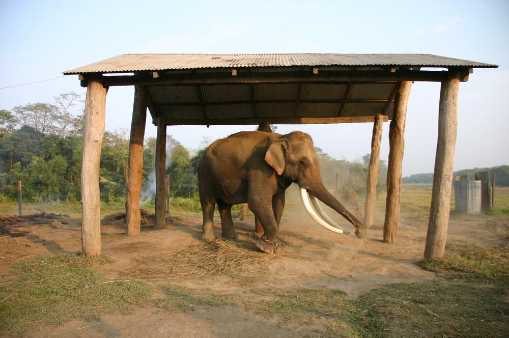 Слон Сураха