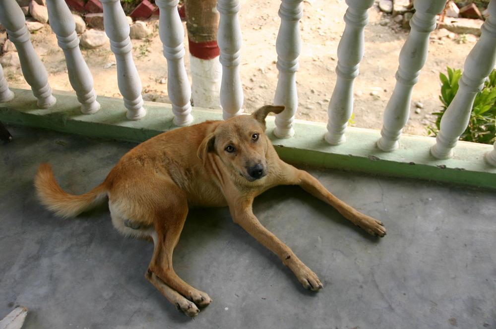 Собачка Непал