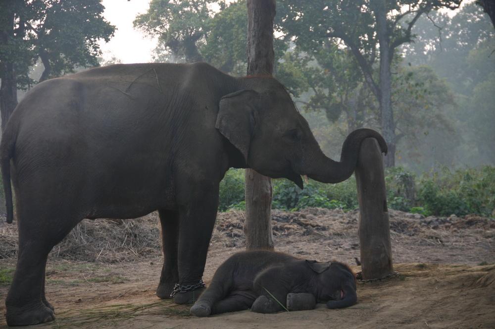 Слониха и слонёнок Непал